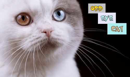 Kucing Odd Eye Tuli