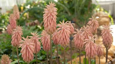 Veltheimia bracteata, el lirio de bosque que florece en invierno