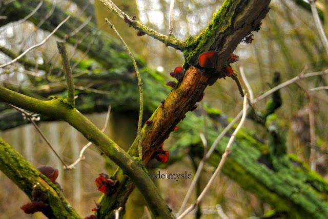 uszak bzowy, ucho bzowe, grzyby zimowe, grzyby wiosenne, jadalne huby, grzyb mun, grzyb mung, auricularia auricula-judae, wood ear, jelly ear