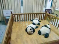 Panda base chengdu by Das Bikashkali