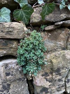 Sedum dasyphyllum in winter.