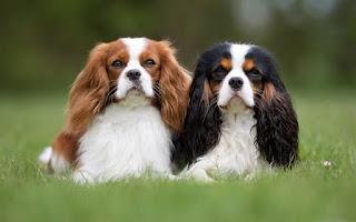 صور كلب كليفر كنج Cavalier King Charles Spaniel