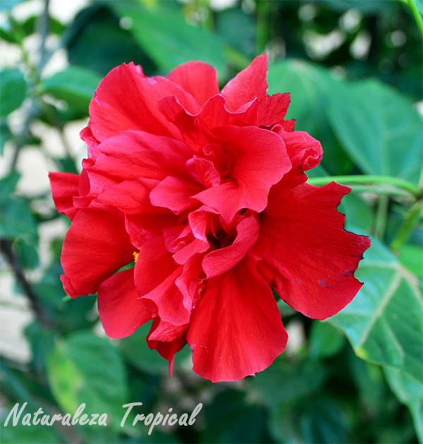 Variedad moñuda roja de Hibiscus sp