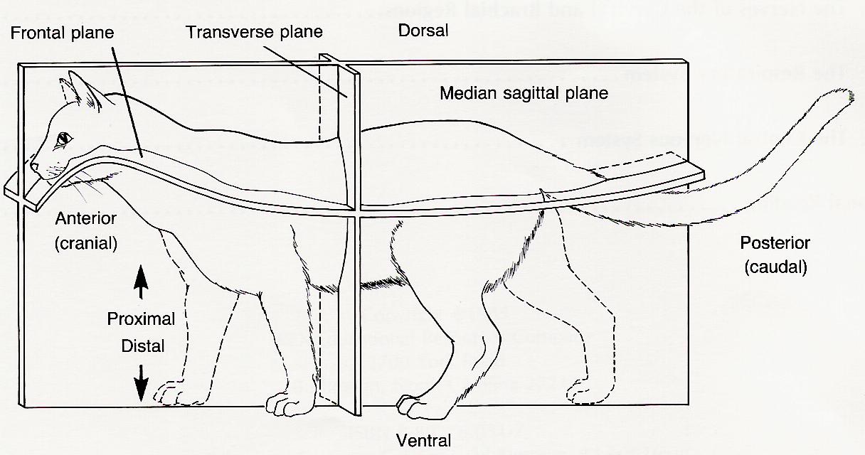 cat anatomy digestive system diagram answers