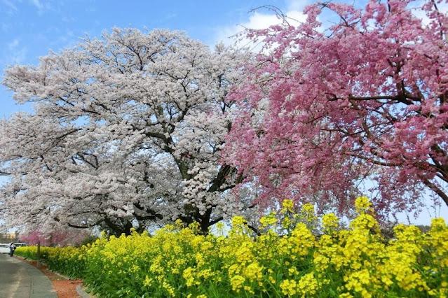 Spring In Kaga