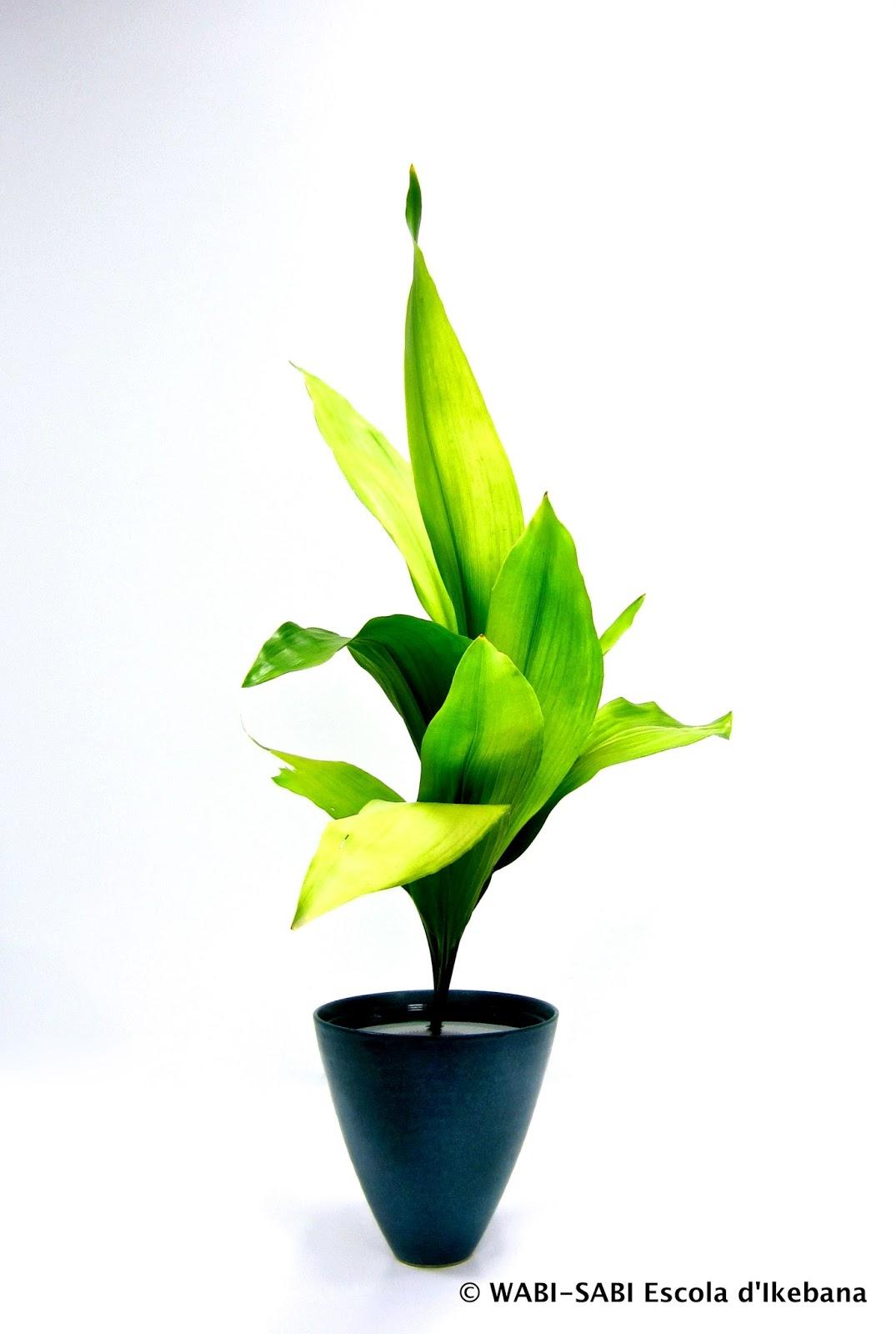 Ikebana-shoka shofutai-aspidistra