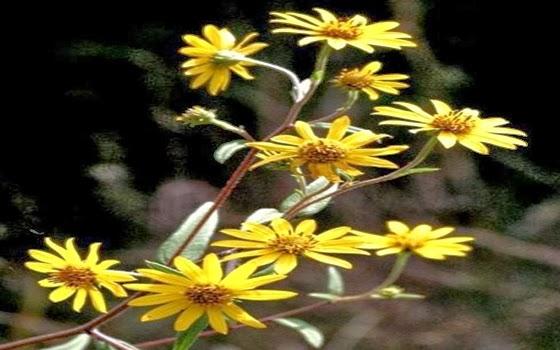 Bunga Schweinitz Sunflower