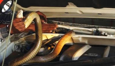 Ular king cobra di dalam mesin mobil