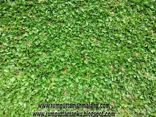Harga rumput gajah mini 2019 www.rumputtamanmalang.com