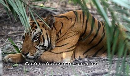 13 Arti Mimpi Lihat Orang Memberi Makan Harimau Menurut ...
