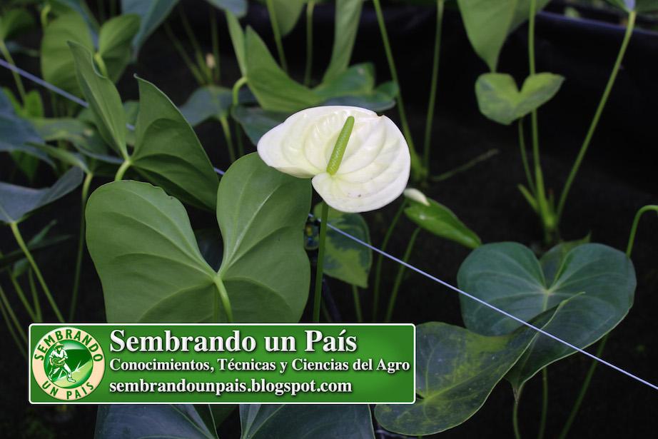 anthurium flor blanca grande