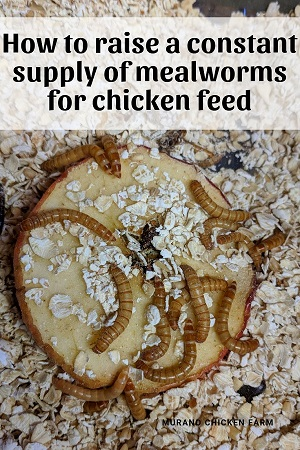 Raising mealworms for chicken feed, cheaply