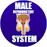 male reproductive system in spanish