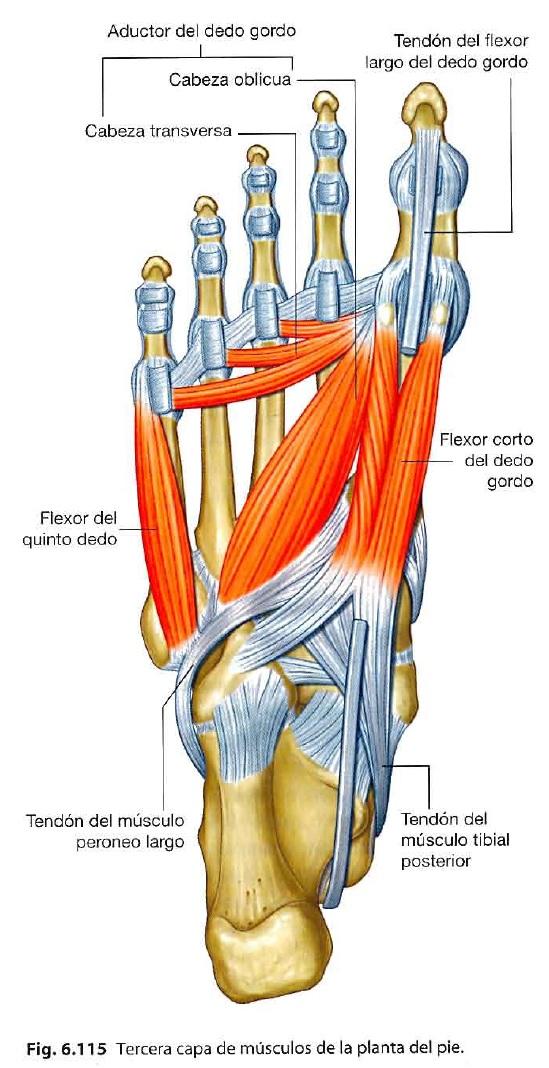 musculos del miembro inferior origen insercion y funcion