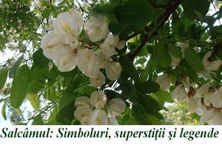 Salcâmul si florile sale: Simboluri, superstiţii şi legende