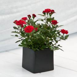 #PraCegoVer: Rosas vermelhas.