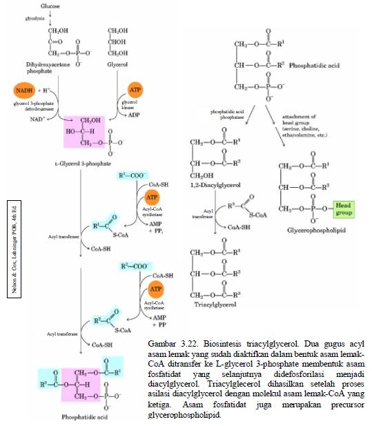Pengertian dan Bagaimana Proses Metabolisme Lemak di dalam Tubuh