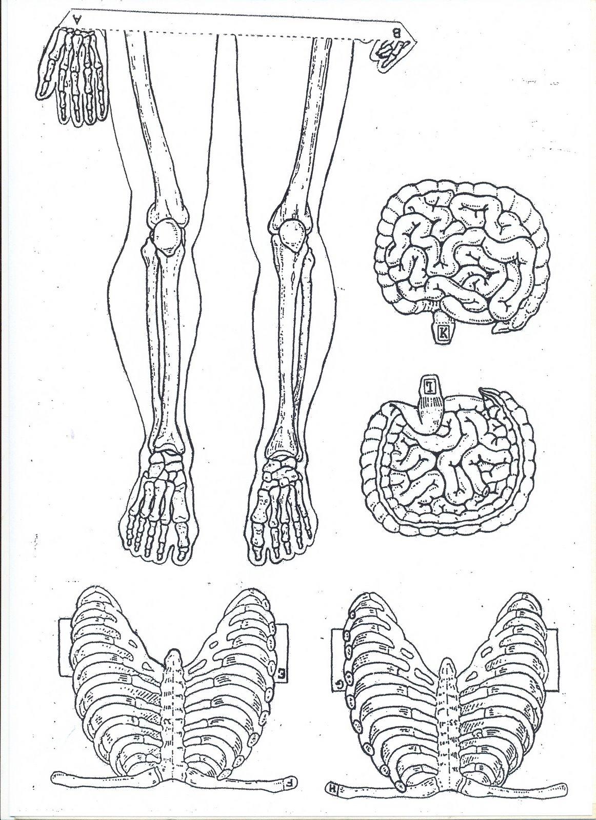 Esqueleto Humano Para Recortar