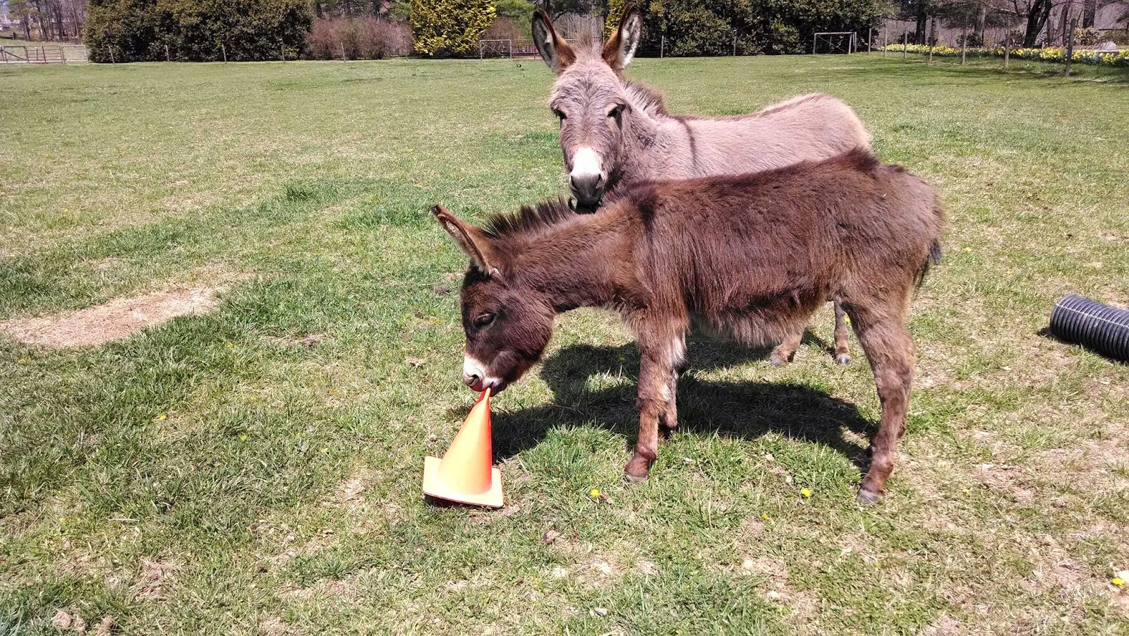 two miniature donkeys with toys
