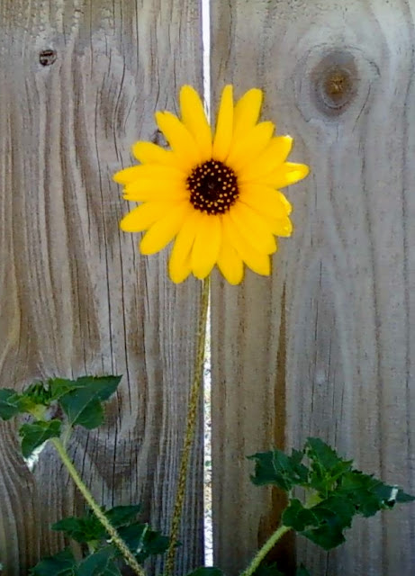 yellow sunflower weed