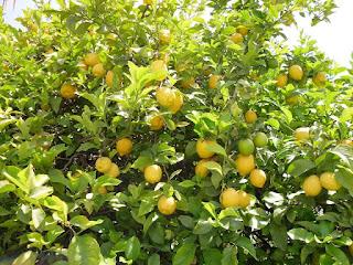 معنى شجرة الليمون في الحلم