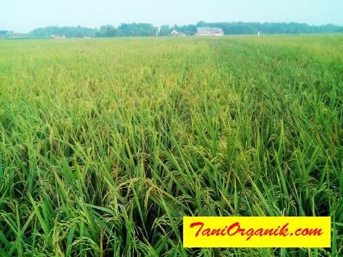 Terlihat jelas dengan konsep pertanian organik BMW padi pak Bambang tetap hijau segar baik batang maupun daunnya meski sudah mendekati panen.