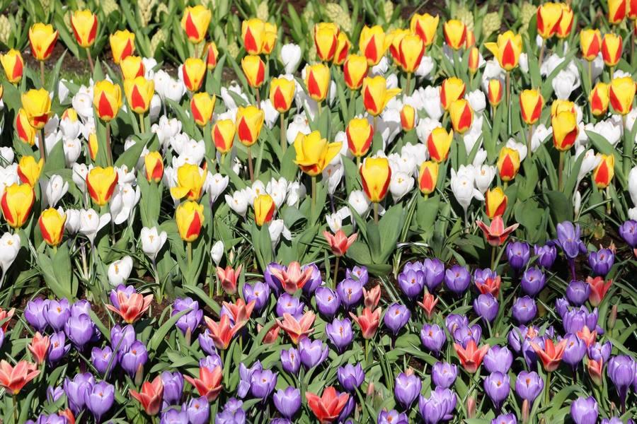 tulipa crocus Keukenhof 2019 Flower Power