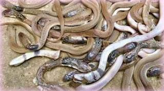 শোবার ঘর থেকে বেরিয়ে এলো ২৭টি গোখরা সাপ ! 27 King Kobras