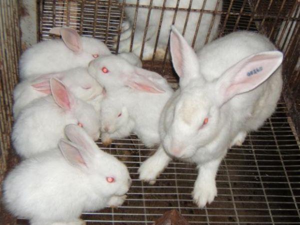 Cách nuôi thỏ cái, thỏ sơ sinh