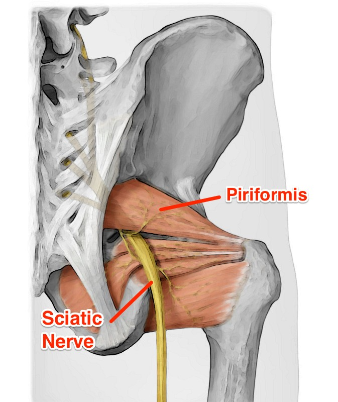 Pro Chiropractic The Most Important Muscle Youve Never Heard Of