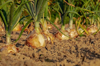 Ingin bawang tumbuh subur ikuti teknik menanam berikut ini