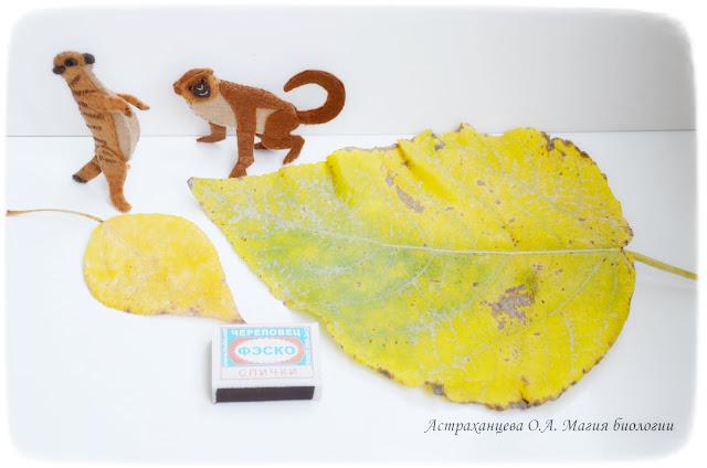 исследования- осенние листья-тополь