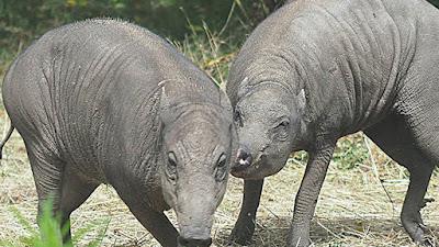 2 Ekor Babi Paling Jelek di Dunia Tiba di Kebun Binatang London