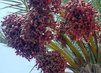Sebatang Pohon Kurma Di Surga