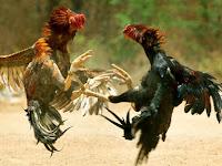 Tips dan Trik Merawat Jalu Ayam dan Menjaga Tubuh Ayam Tetap Berstamina