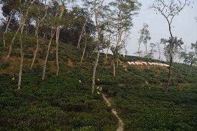 Moulvibazar tea garden