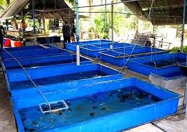 Cara Budidaya Udang Galah Kolam Terpal Yang Efektif Lengkap Sampai Panen
