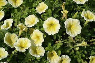 Petunia 'Supertunia Citrus'