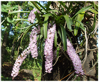 Foxtail Orchid or Rhynchostylis retusa the State flower of Assam