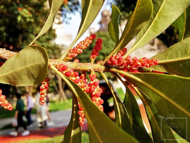 Myrica rubra - chinese waxberry, chinska truskawka, chinskie drzewo truskawkowe, kwitnienie, kwiaty, kwiatostany meskie, jak i kiedy kwitnie, jak wyglada, jak zapylac, azjatyckie rosliny owocowe, ciekawostki, botanika, malo znane uzytkowe rosliny azji