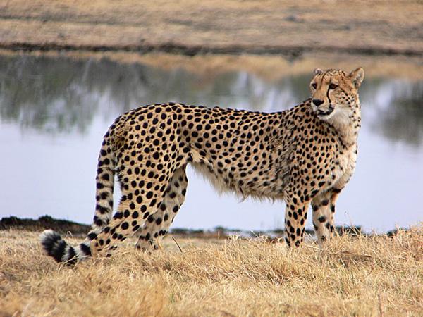 اشرس المخلوقات: الفهد الصياد