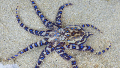 Is a blue-ringed octopus venomous?