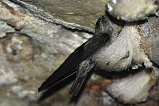 Chim yến sào trong hang động.