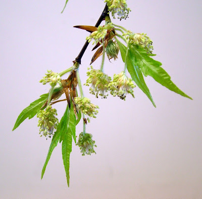 leaves and flowers of cut leaf beech