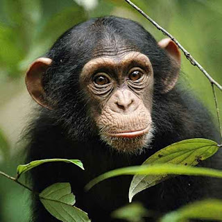 Зоологи открыли у шимпанзе понимание чужого знания