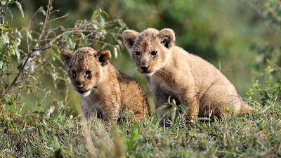 lion-cubs-animal-image-collection