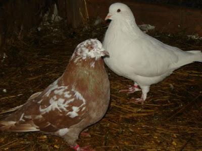 grizzle pigeons - runt pigeons