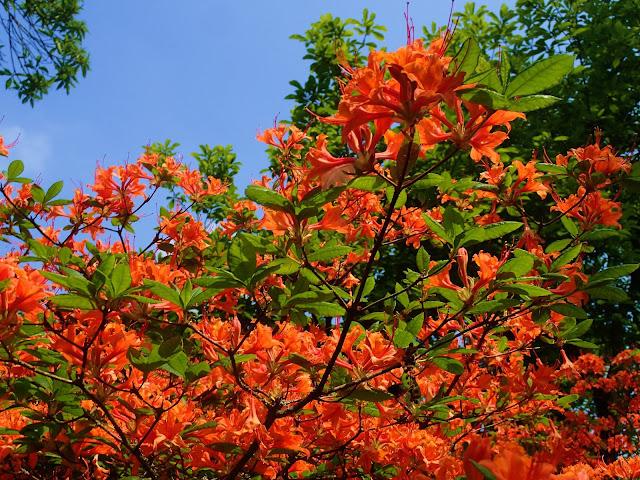 Pomarańczowe kwiaty w Holandii