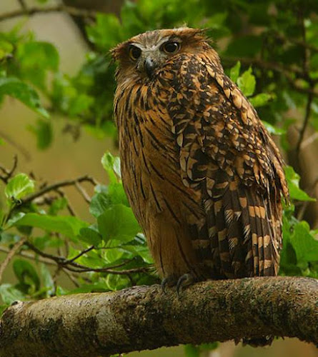 Tawny fish owl - Ketupa flavipes