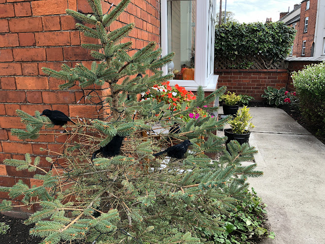 Imitation blackbirds in a Christmas tree